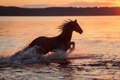 Caballo negro que galopa en agua en la puesta del sol imagen de archivo