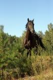 Caballo negro que se ejecuta en el borde del bosque foto de archivo libre de regalías