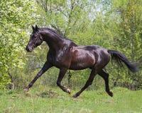 caballo negro que se ejecuta en un trote imagenes de archivo