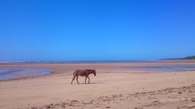 Caballo que camina en la playa metrajes