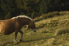 Caballo que camina en un pasto de la montaña con los árboles de pino en el backg imagen de archivo libre de regalías