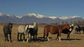 Caballo que camina y de funcionamiento Manada de los caballos que corren en las estepas en montaña coronada de nieve del fondo Cá metrajes