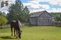 Caballo que come en pasto por el granero y la cerca de madera fotografía de archivo