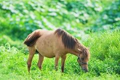 Caballo que come la hierba Foto de archivo