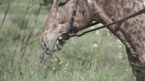 Caballo que mastica la hierba en un fondo de la naturaleza Primer de la pista del caballo que come la hierba almacen de video