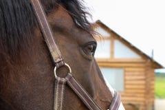 Caballo que mira y que piensa El ojo Retrato cuarto de la cabeza de caballo Fotos de archivo