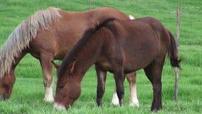 Caballo que pasta, caballos, animales del campo almacen de video