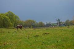 Caballo que pasta en un prado verde fotografía de archivo libre de regalías