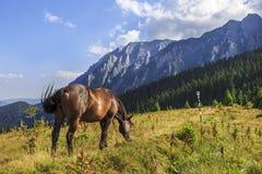 Caballo que pasta en una montaña del rumano del prado imágenes de archivo libres de regalías