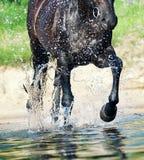 Caballo que trota en primer del agua Imagen de archivo