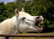 Caballo árabe blanco que ríe con los dientes expuestos Foto de archivo libre de regalías