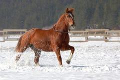 Caballo rojo que corre en la nieve. Foto de archivo