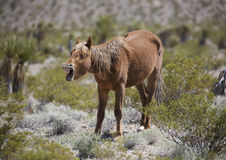 Caballo salvaje de Nevada que bosteza Fotos de archivo