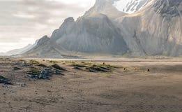 Caballo salvaje en Stokksnes Islandia Imagen de archivo