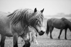 Caballo salvaje europeo Fotografía de archivo libre de regalías