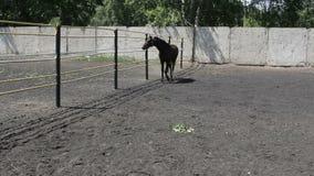 Caballo salvaje negro que corre alrededor del prado almacen de metraje de vídeo