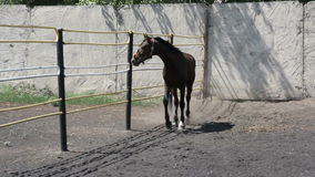 Caballo salvaje negro que corre alrededor del prado
