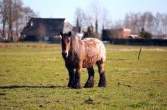Caballo viejo del Frisian al aire libre Fotografía de archivo