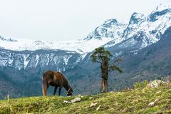 Caballo y árbol solo en el fondo de montañas, Nepal Fotografía de archivo libre de regalías