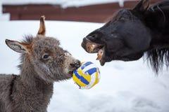 Caballo y burro Fotografía de archivo