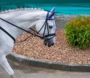Caballo y jinete blancos de la doma Retrato del caballo blanco durante la competencia de la doma imagen de archivo
