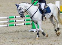 Caballo y jinete del Dressage Retrato del caballo blanco durante la competencia de la doma Fotos de archivo