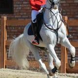Caballo y jinete grises del deporte en galope Demostración del caballo que salta en detalles Fotos de archivo libres de regalías