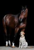 Caballo y perro de bahía en el fondo negro Fotografía de archivo libre de regalías