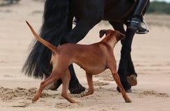 Caballo y perro que corren en la playa Fotos de archivo libres de regalías