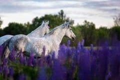 Caballos árabes que corren libremente en un prado de la flor Fotografía de archivo libre de regalías
