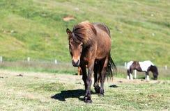 caballos Fotografía de archivo libre de regalías