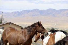 Caballos americanos salvajes del mustango en Nevada fotos de archivo libres de regalías