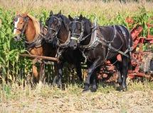 Caballos belgas de Amish en campo de maíz Fotos de archivo libres de regalías