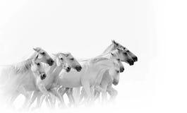 Caballos blancos corrientes Imágenes de archivo libres de regalías