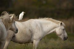 Caballos blancos de Camargue Imágenes de archivo libres de regalías
