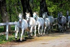 Caballos blancos de Lipizzan Foto de archivo
