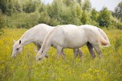 Caballos blancos hermosos Fotos de archivo