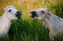 Caballos blancos que comen la hierba y la risa Fotos de archivo