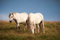 Caballos blancos salvajes Fotografía de archivo