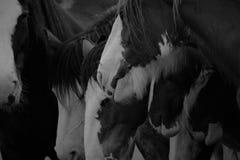 Caballos blancos y negros imagen de archivo
