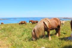 Caballos bretones del rasgo en un campo en Bretaña Fotos de archivo