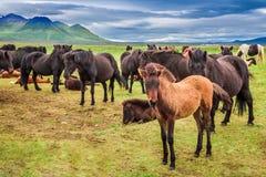 Caballos con los potros en las montañas de Islandia Foto de archivo