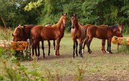 Caballos de Brown en un campo Fotografía de archivo libre de regalías
