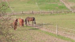 Caballos de Brown que corren cerca de la cerca en prado en el día de primavera almacen de metraje de vídeo