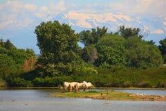 Caballos de Camargue Fotografía de archivo