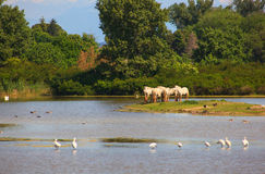 Caballos de Camargue Foto de archivo libre de regalías