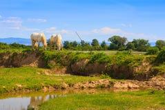 Caballos de Camargue Imagen de archivo