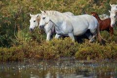 Caballos de Camargue en la reserva Fotografía de archivo