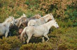 Caballos de Camargue en la reserva Fotos de archivo libres de regalías