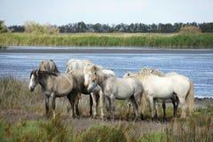 Caballos de Camargue, Francia. Foto de archivo libre de regalías